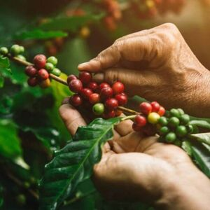 How Is Coffee Harvested